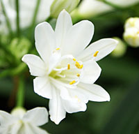 "Agapanthus ""White Diamond"""