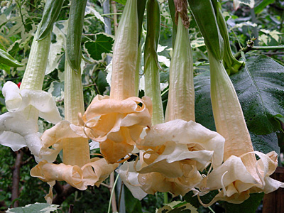 engelstrompete angels love jungpflanze im 9 cm topf. Black Bedroom Furniture Sets. Home Design Ideas