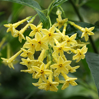 Cestrum 'Moonglow'
